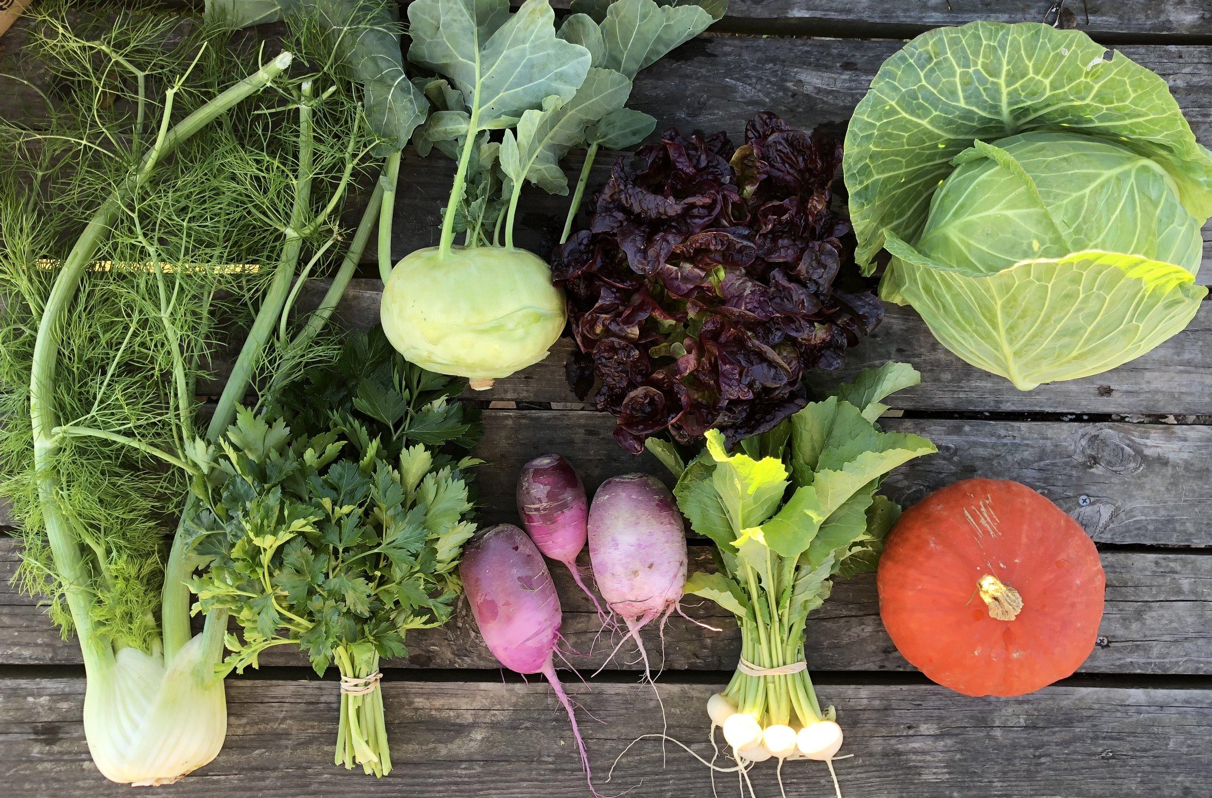 Top Row: Kohlrabi, Lettuce, and Cabbage  Bottom Row: Fennel, Parsley, Daikon Radish, Hakurei Turnips, and Kabocha Squash