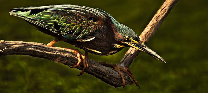 Green-Back-Heron.jpg