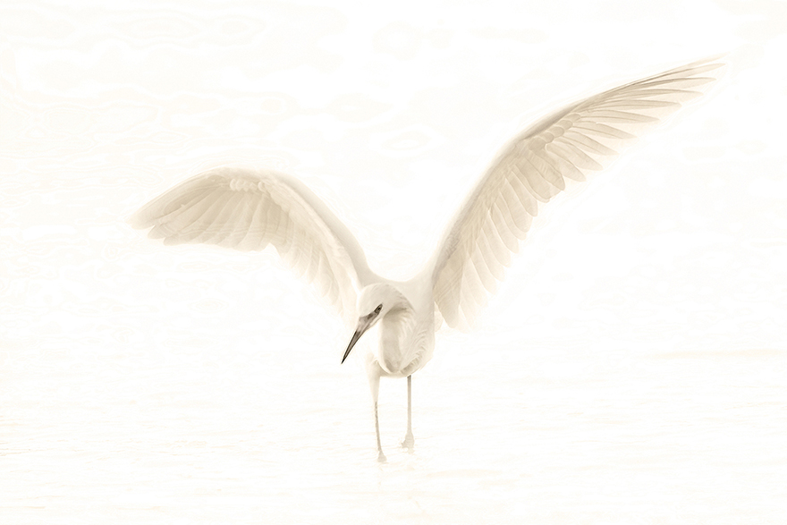 Redish-Egret.jpg