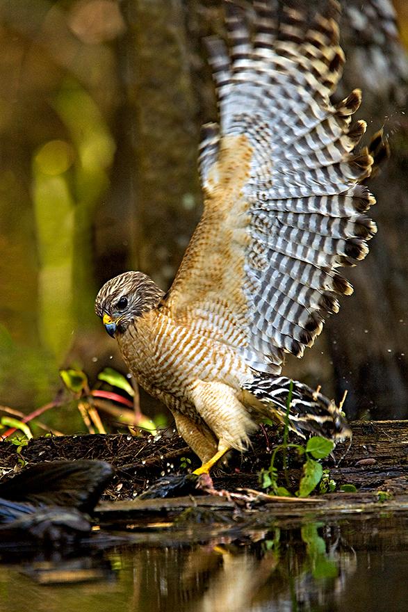 Red-Shoulder-Hawk.jpg