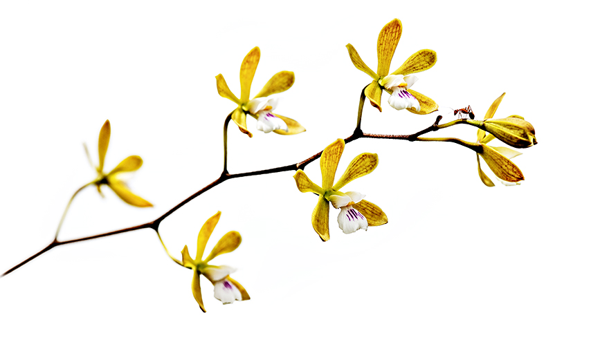 Butterfly-Orchid-w-ant-01.jpg