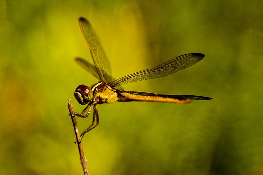 Dragonfly_01.jpg