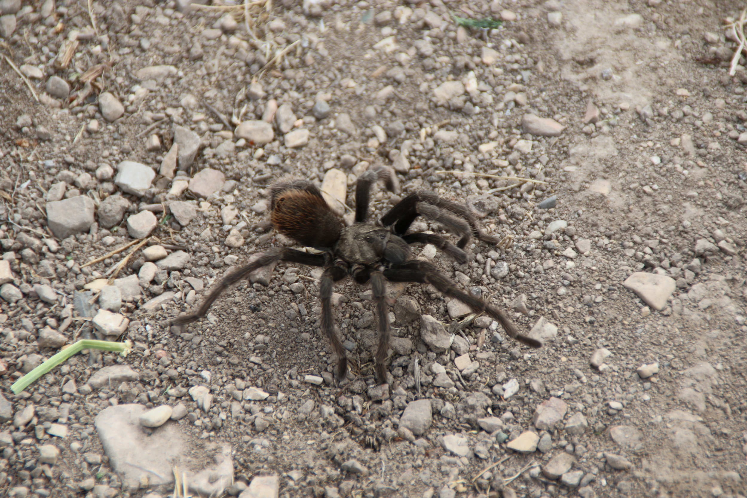 We found this tarantula crossing the road through Foxen Canyon