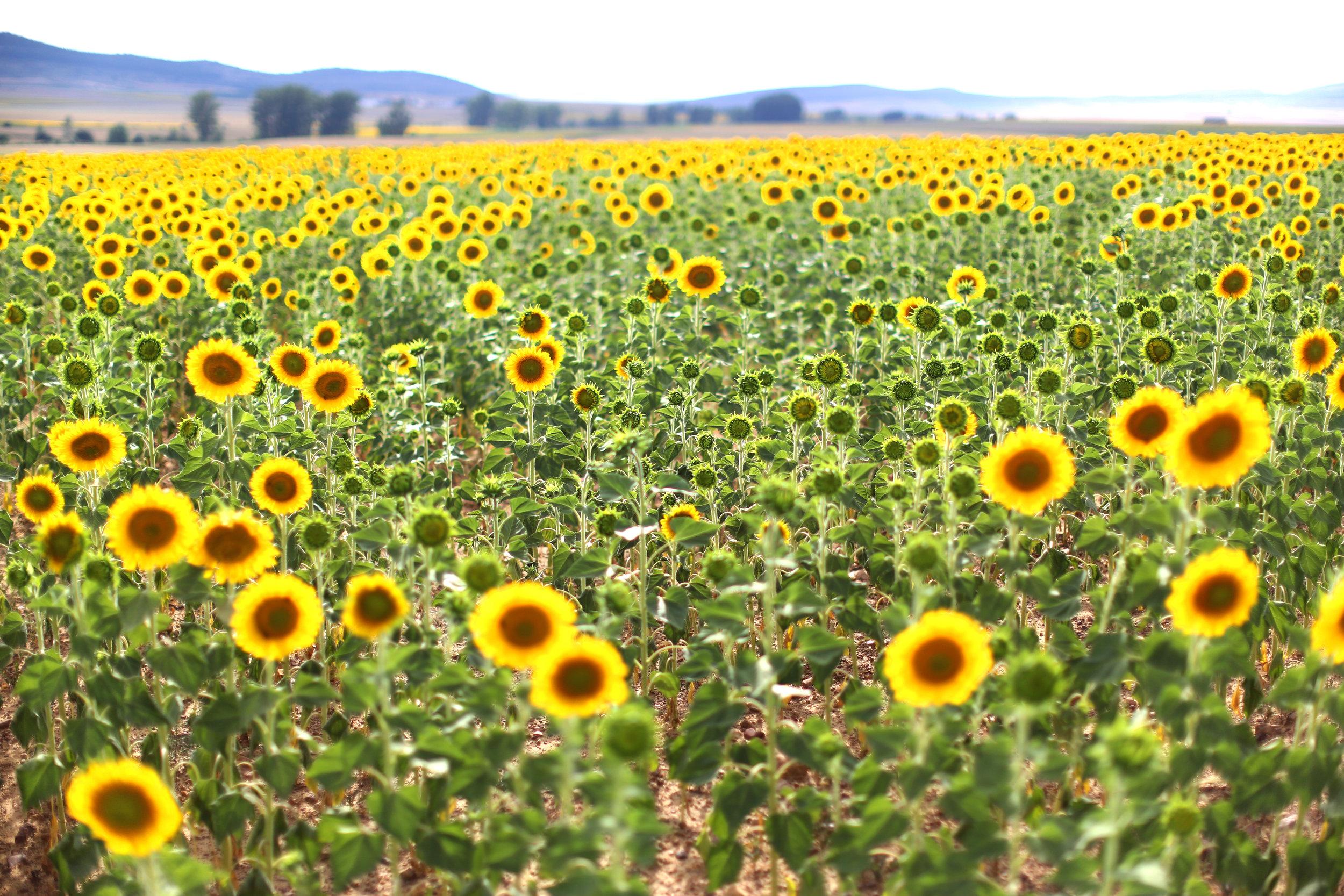 7W1A2562_sunflowers_ritathompson.jpg