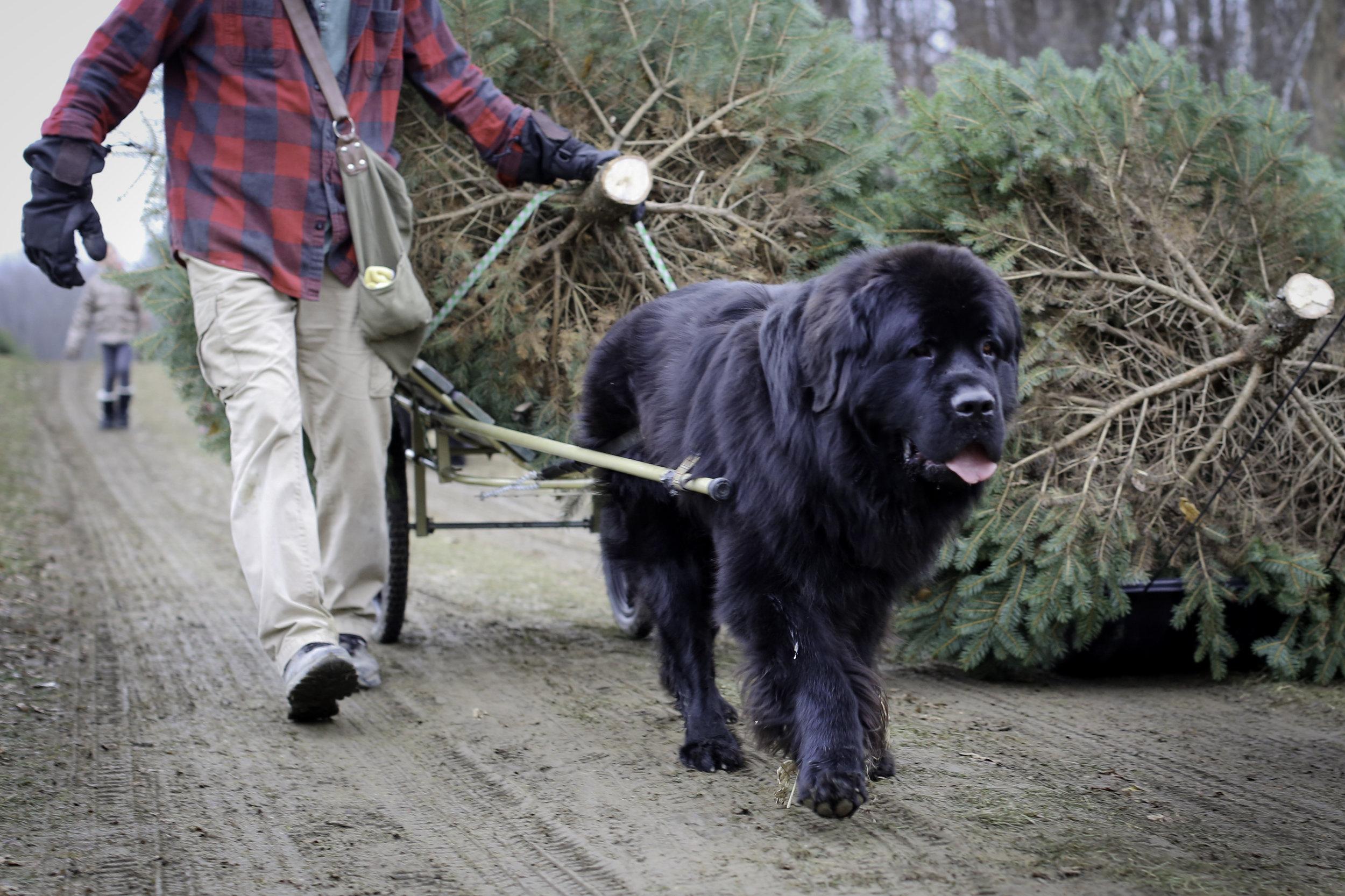 7W1A0181_christmas farm dog tree_ritathompson.jpg