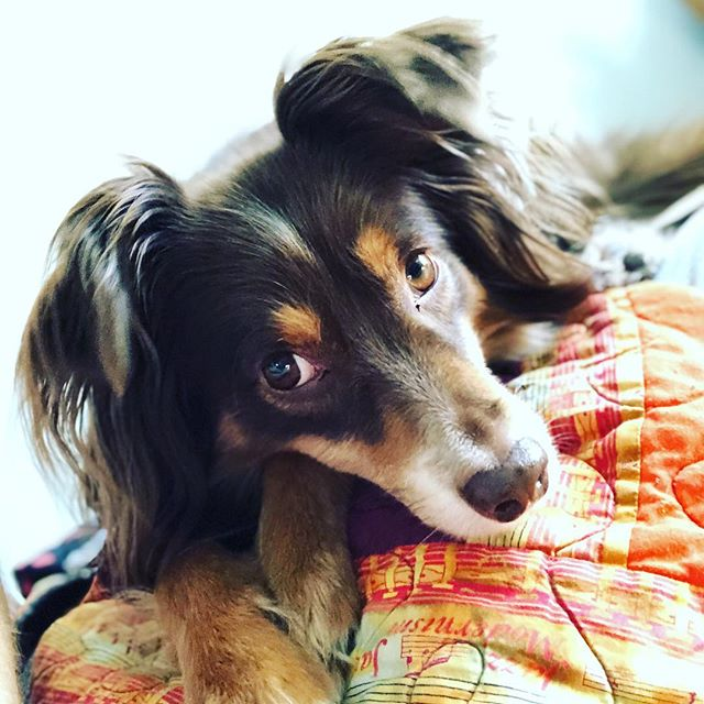 @casually_carson always knows how to brighten my day #aussiesofinstagram #australianshepherd #chicago #chicagodog #dogsofinstagram #dogstagram