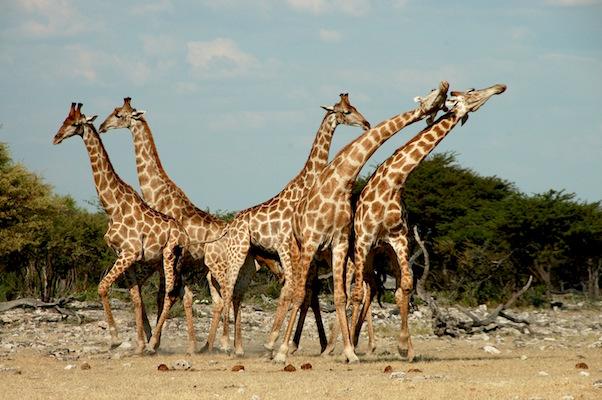 Giraffe, Etosha Park copy.jpg