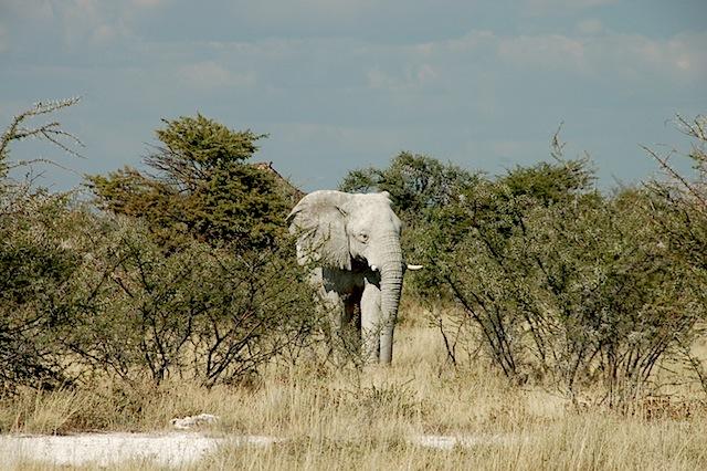 White Elephant, Etosha.JPG