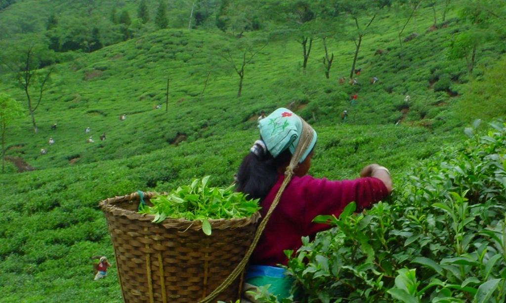 Darjeeling Tea Estate.jpg