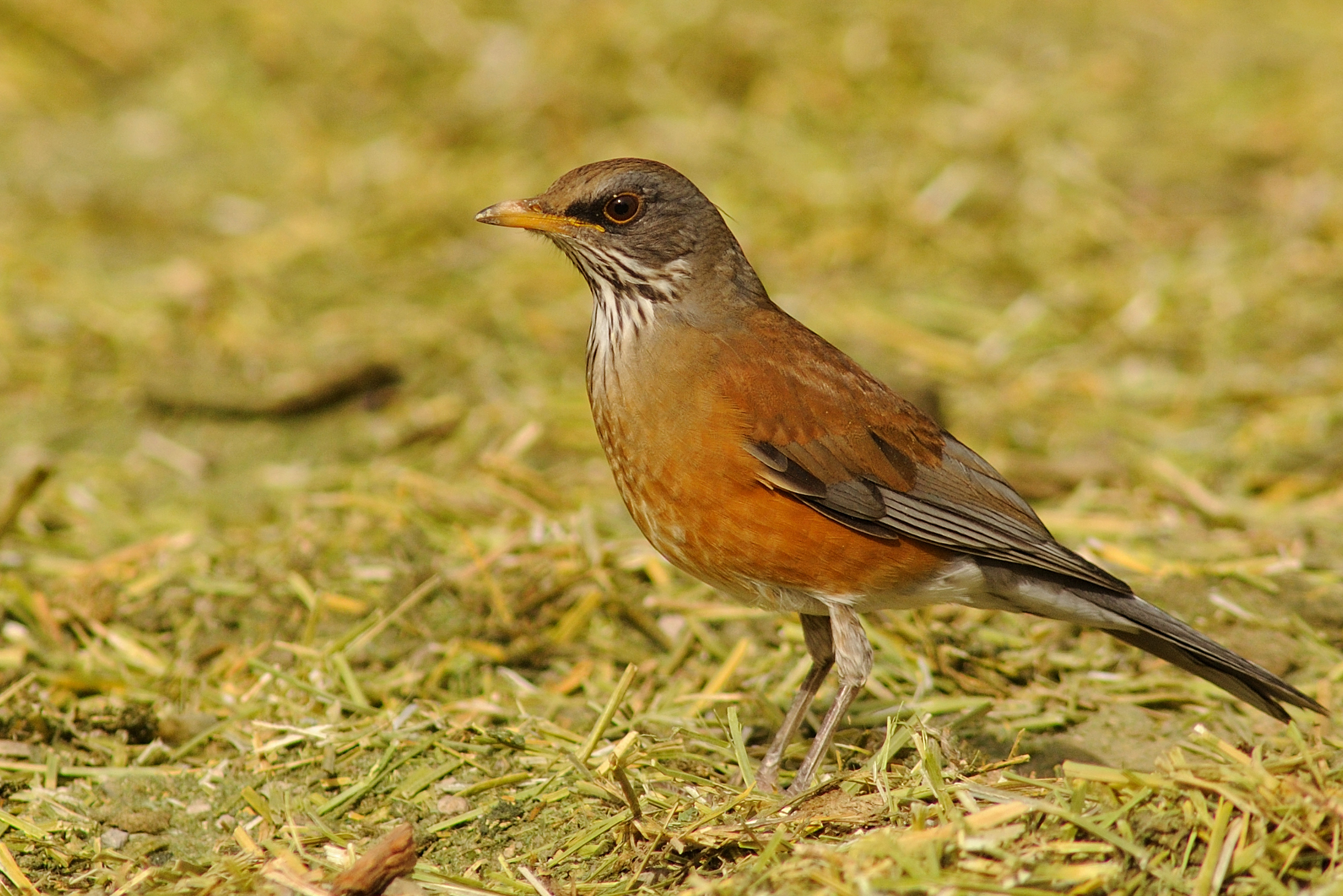 Rufous-backed Robin / Photo: Rick Fridell