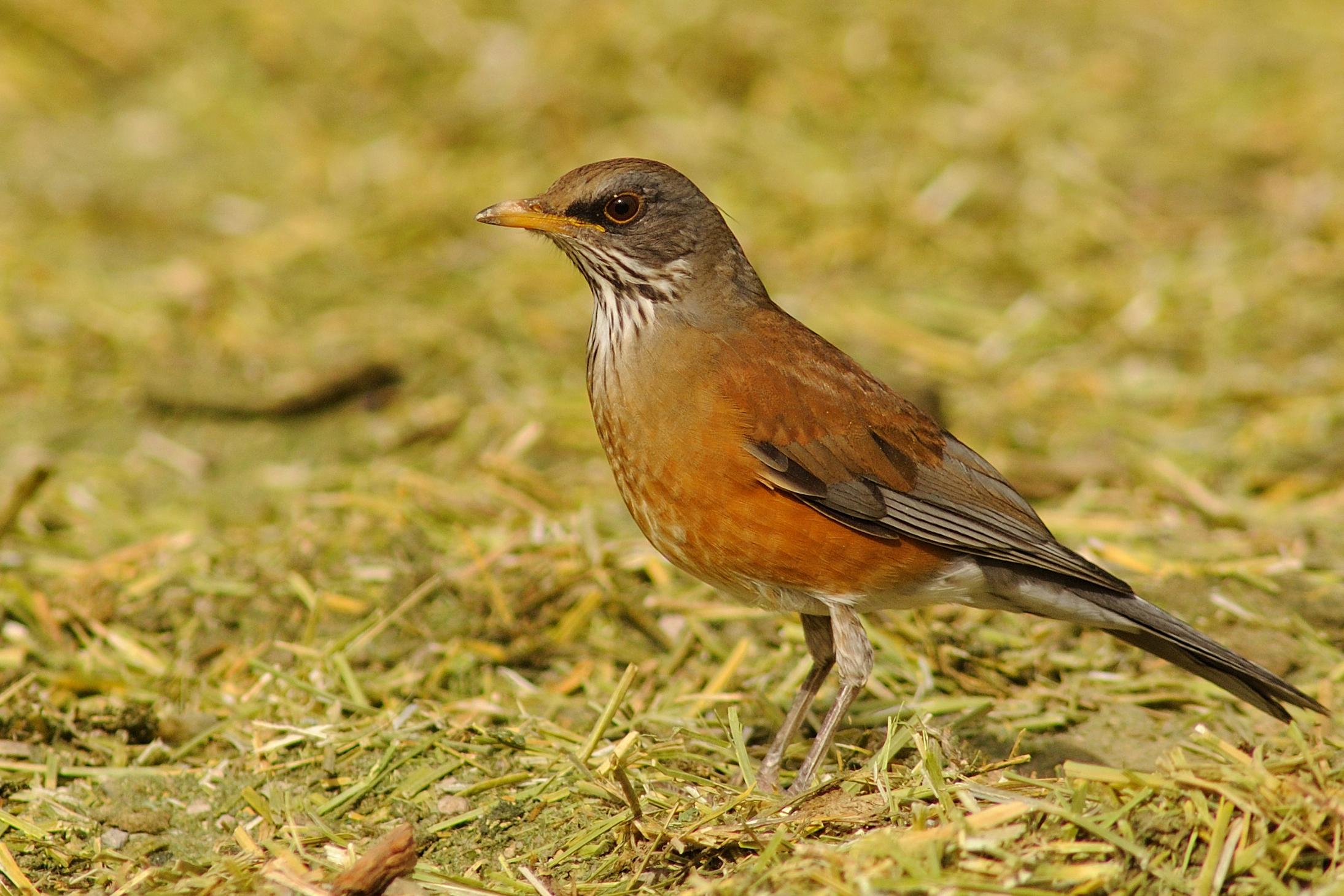 Rufous-backed Robin / Photo: Rick Fridell