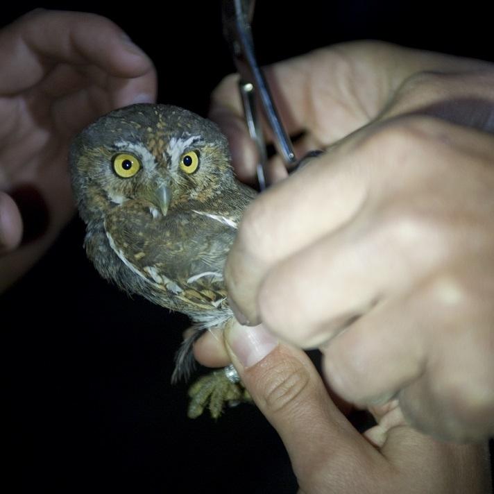 Elf Owl / Photo: John Stanek