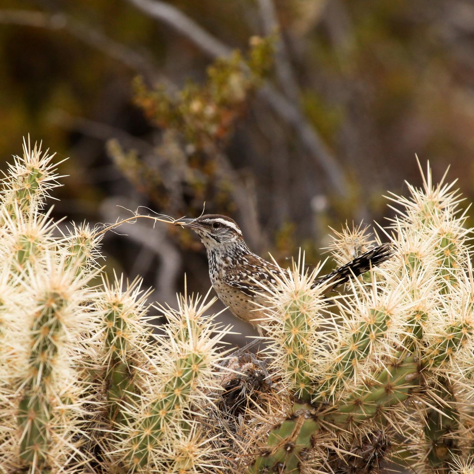 Cactus Wren / Photo: Amy Leist