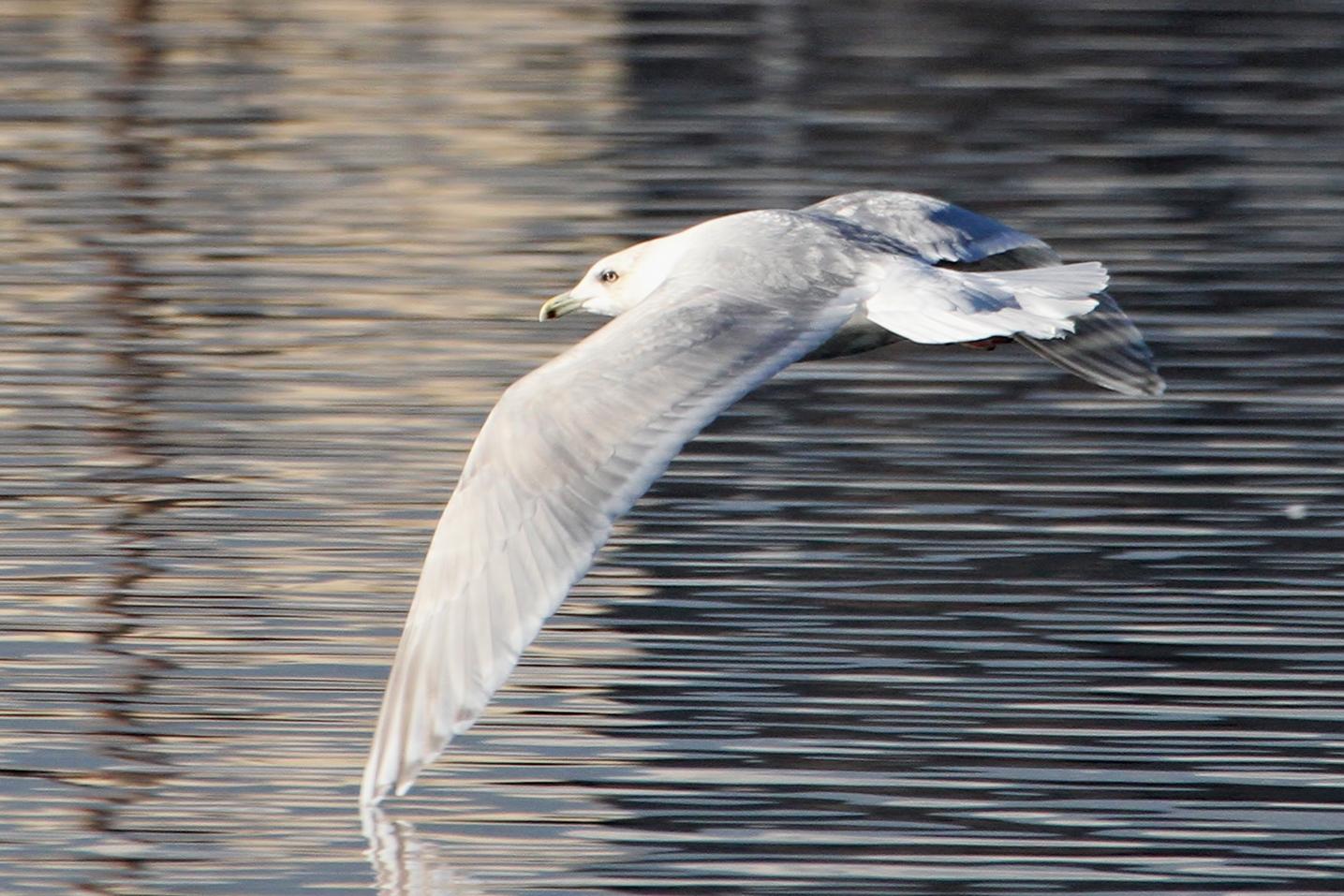 Iceland Gull / Photo: Martin Meyers