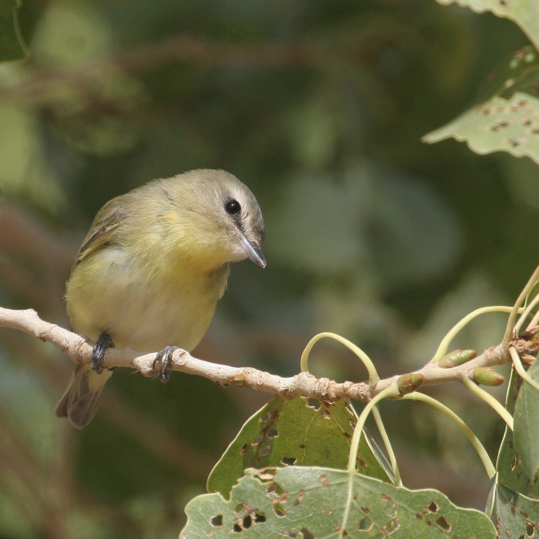 Philadelphia Vireo / Photo: Greg Scyphers