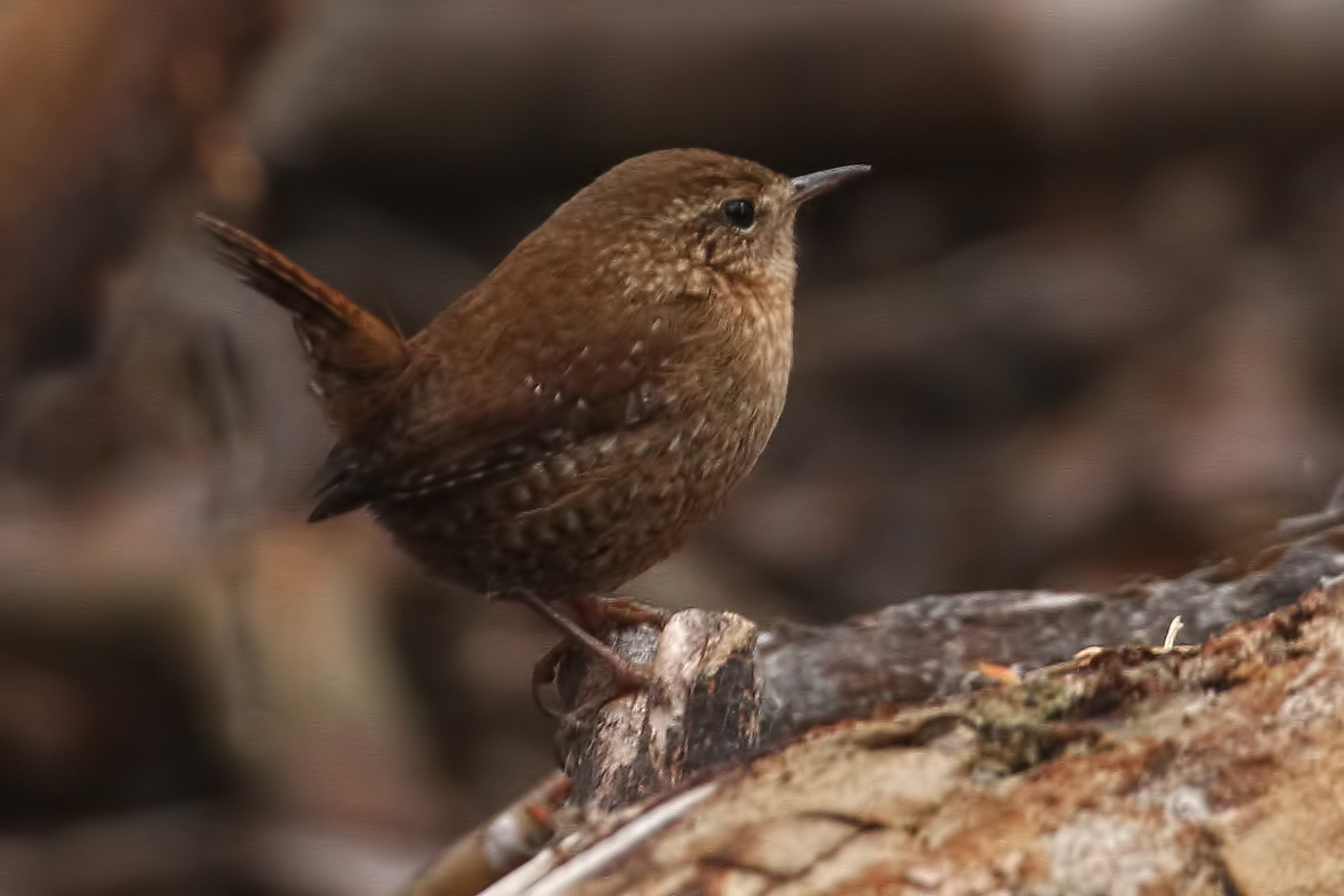 Winter Wren / Photo: Martin Meyers