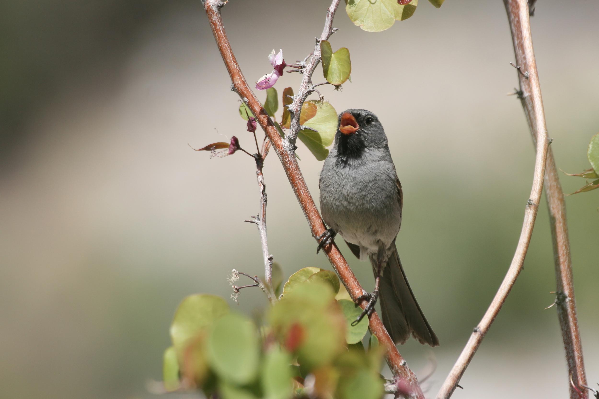 Black-chinned Sparrow / Photo: Martin Meyers