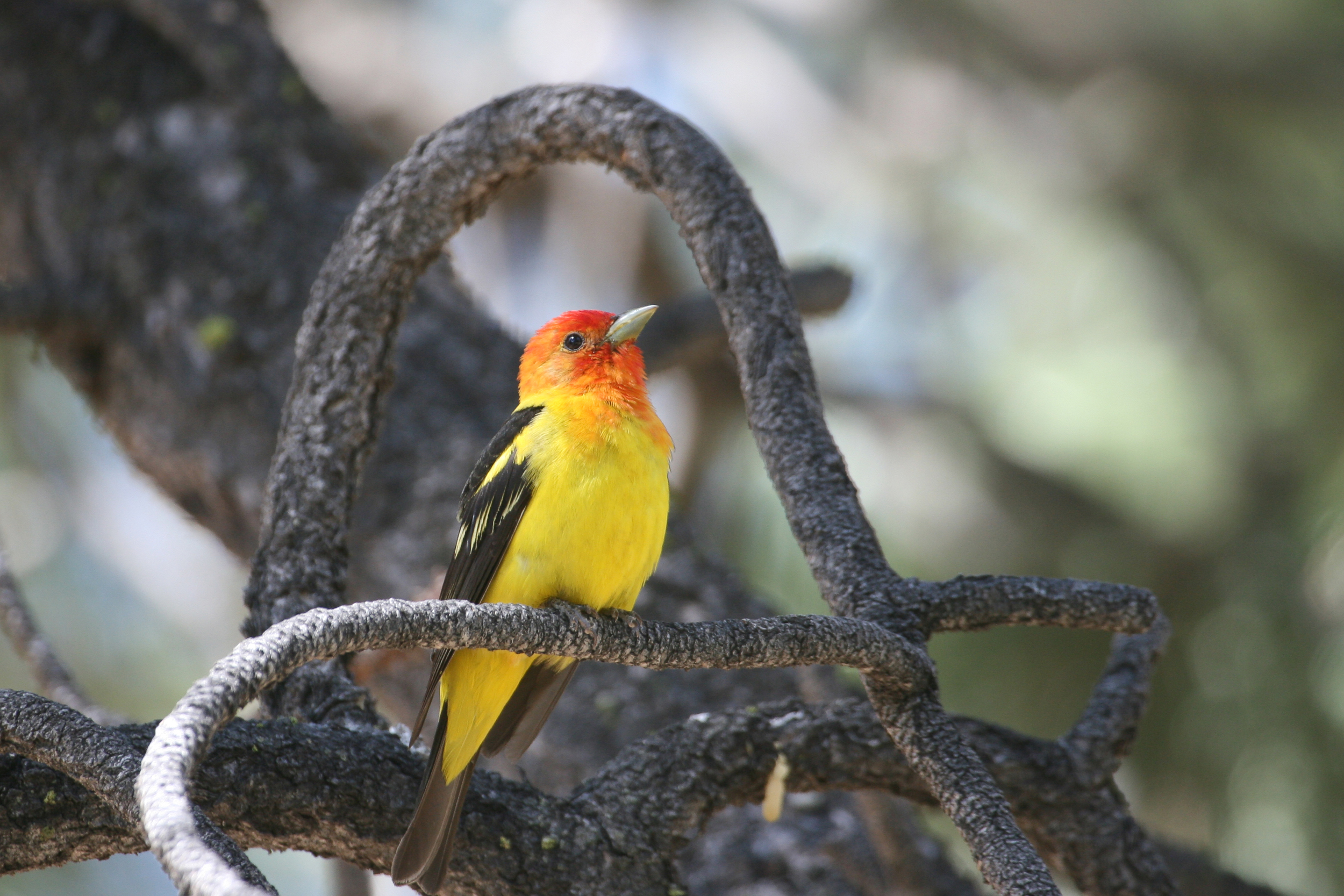 Western Tanager / Photo: Martin Meyers