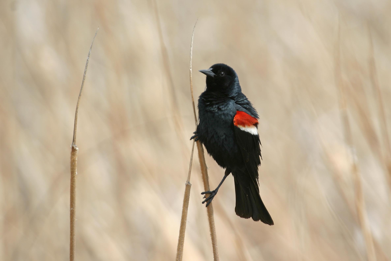 Tricolored Blackbird / Photo: Martin Meyers