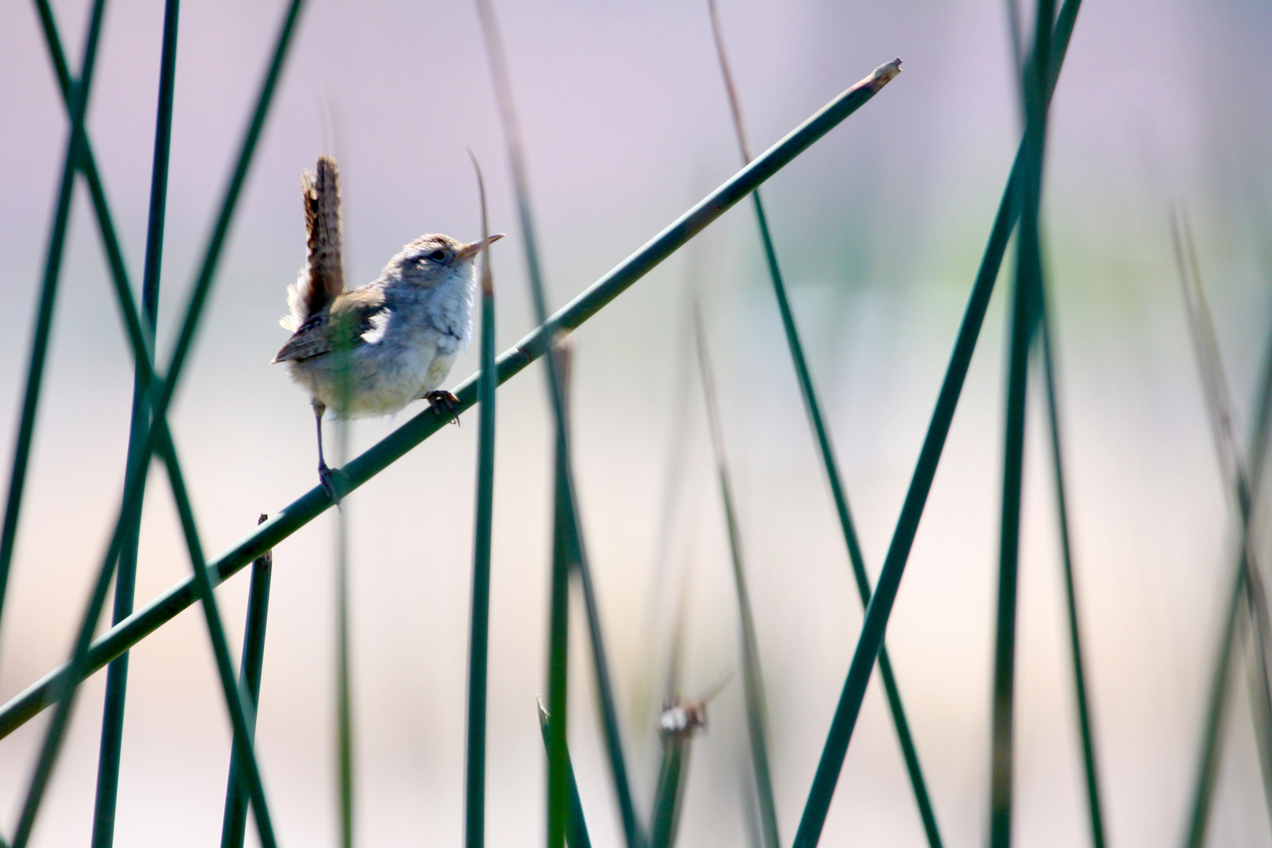 Marsh Wren. Photo by Greg Hachigian.