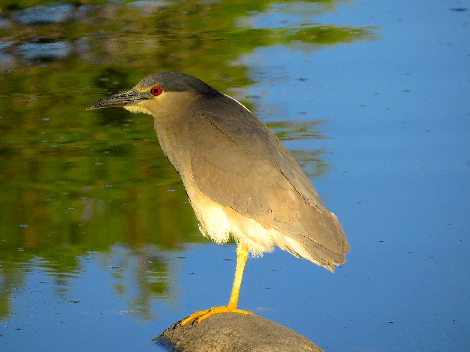 Black-crowned Night-Heron. Photo by Ted Floyd.