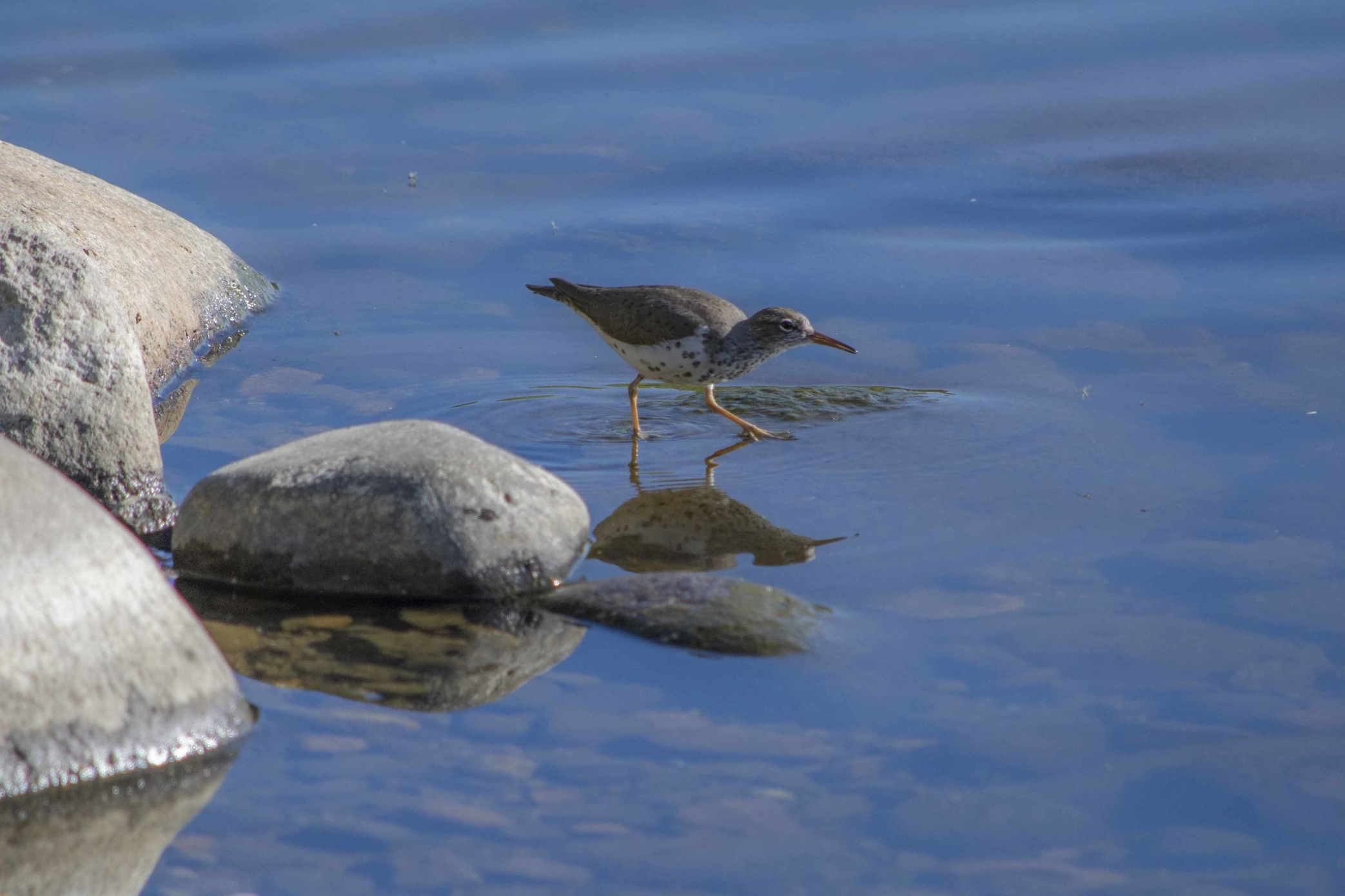 And they also went to Reno's Virginia Lake to take pictures of other common birds, like this Spotted Sandpiper. Photo by Elisabeth Ammon.