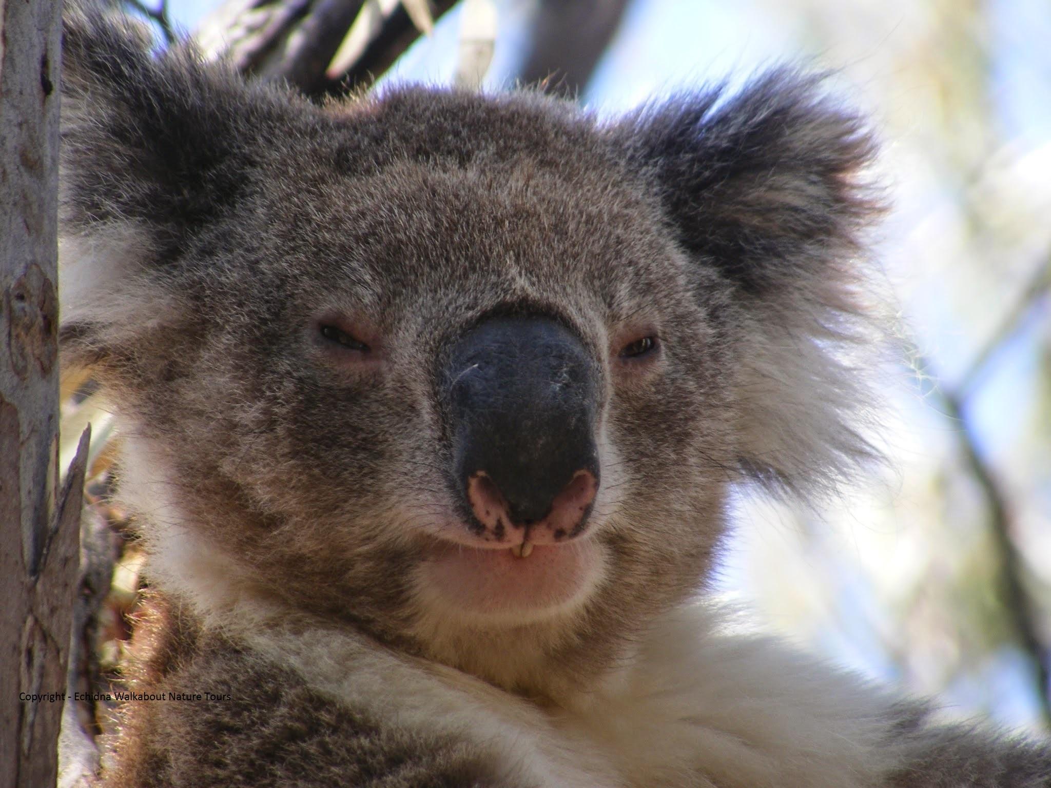 Koala Clany