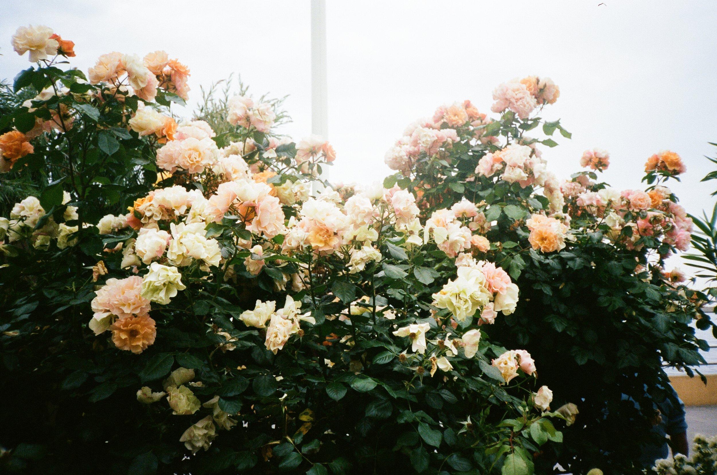 italian-roses-emily-quirk-film