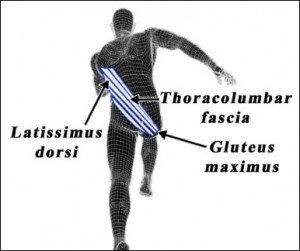 The Posterior Oblique Sling (POS) comprises of your opposite Latissimus Dorsi to Glute Max as well as the Biceps Femoris hamstring to the same side Glute (not seen in this pic).