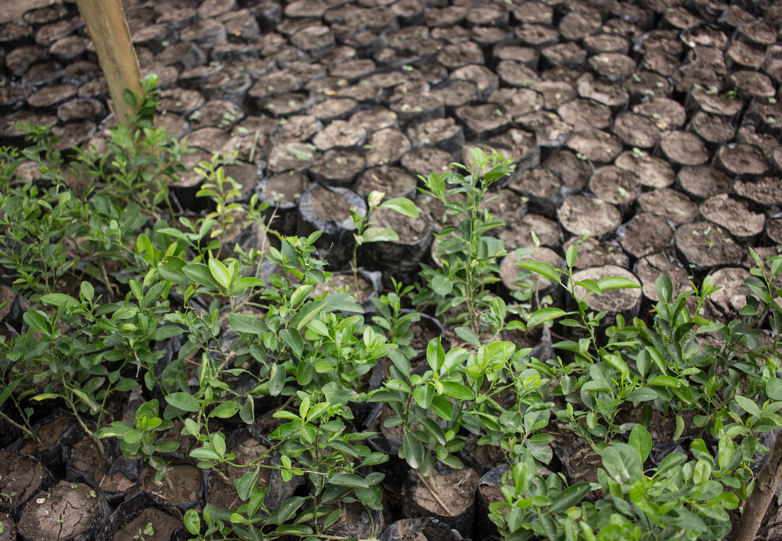 The seedlings of the new include a variety of citrus trees from lemon, lime, orange, and grapefruit