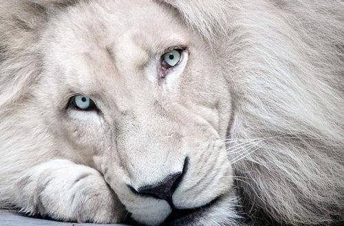 albinismo-leão-albino.jpg