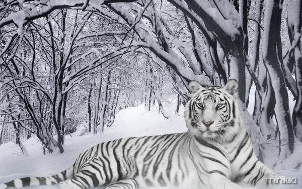Tigre131_thumb.jpg