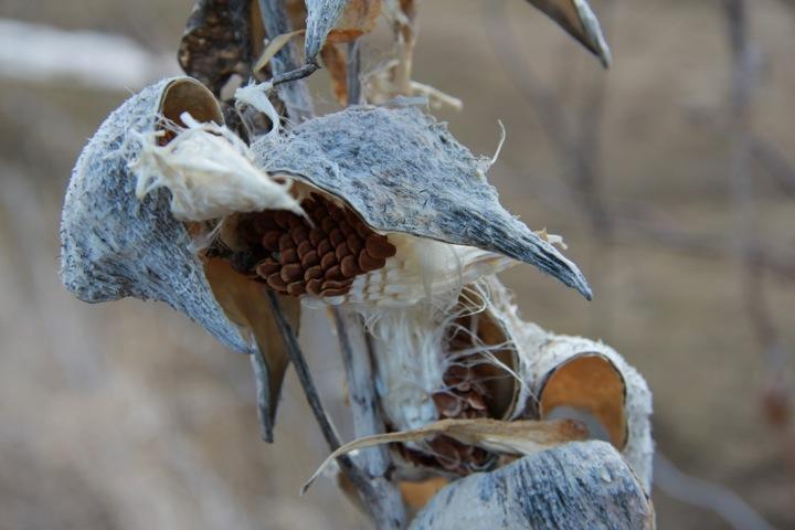 Milkweed seeds-4