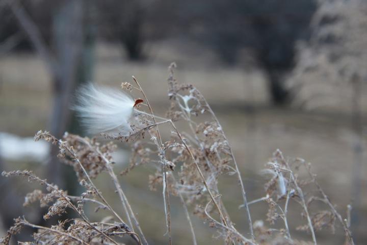 Milkweed seeds-5