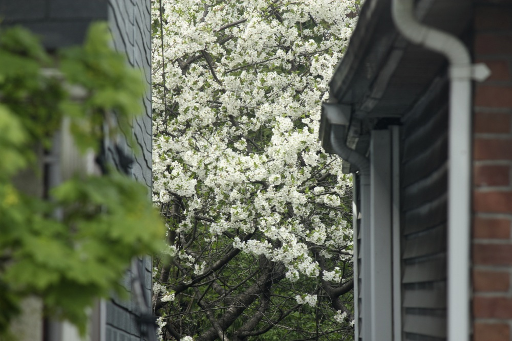 IMG_2894-Blossoms