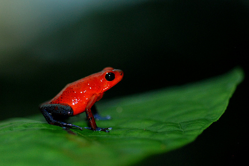 Cost Rica Frog.jpg