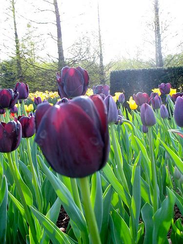 Tulips-5497307011_0fb81159c1.jpg
