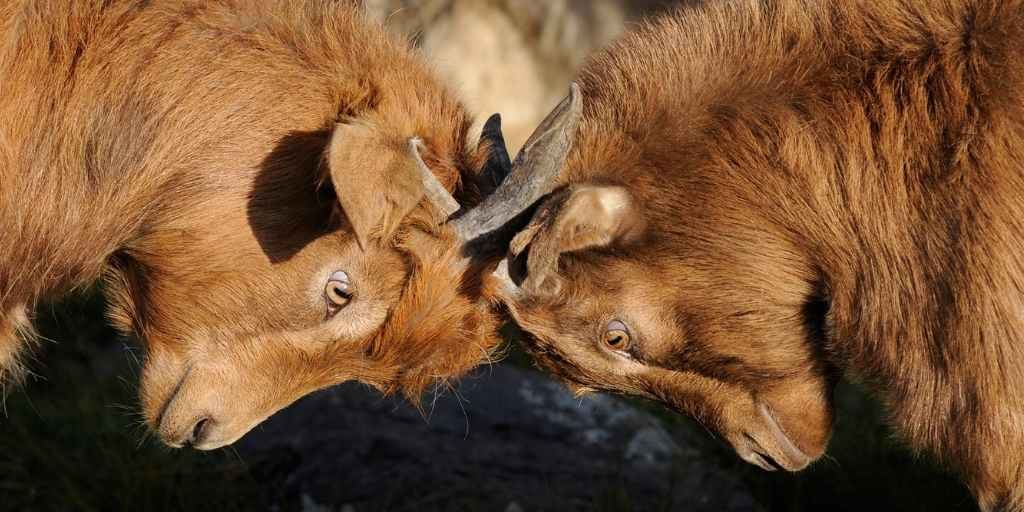 Goats fighting-Conflict misconceptions.png