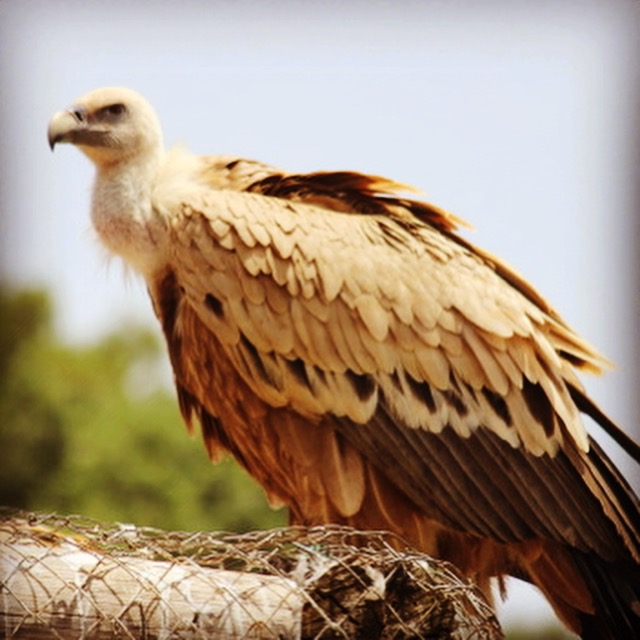 The Griffon vulture roaming the skies of the Mediterranean!