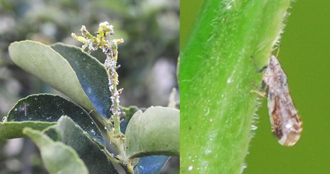 Asian citrus psyllid infestation and single adult on citrus
