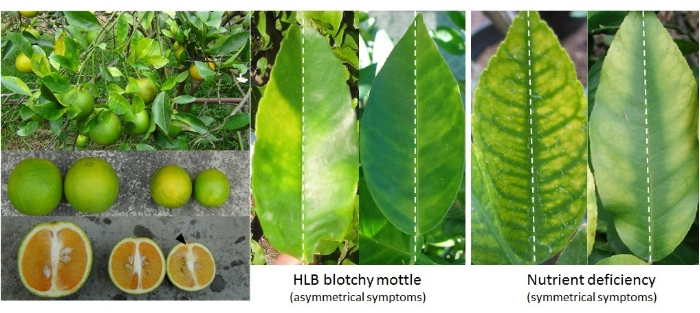 Symptoms of HLB include 'blotchy mottle' of leaves, small fruit, and dark, aborted seeds. The blotchy mottle symptom can be distinguished from common nutrient deficiencies by the asymmetric nature of the yellowing on either side of the leaf midrib