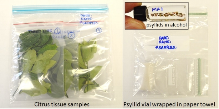 How to ship citrus tissue or psyllid samples for HLB testing. For citrus tissue, twigs from each tree should be placed in a separate sealable bag and labeled. For psyllids, insects from different trees can be placed in the same vial.