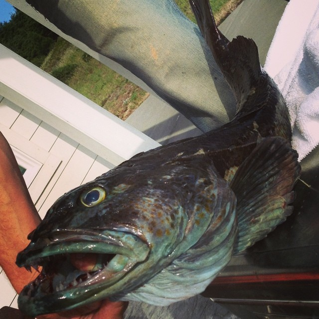 That is one ugly little creature but it made a tasty dinner! #lingcod