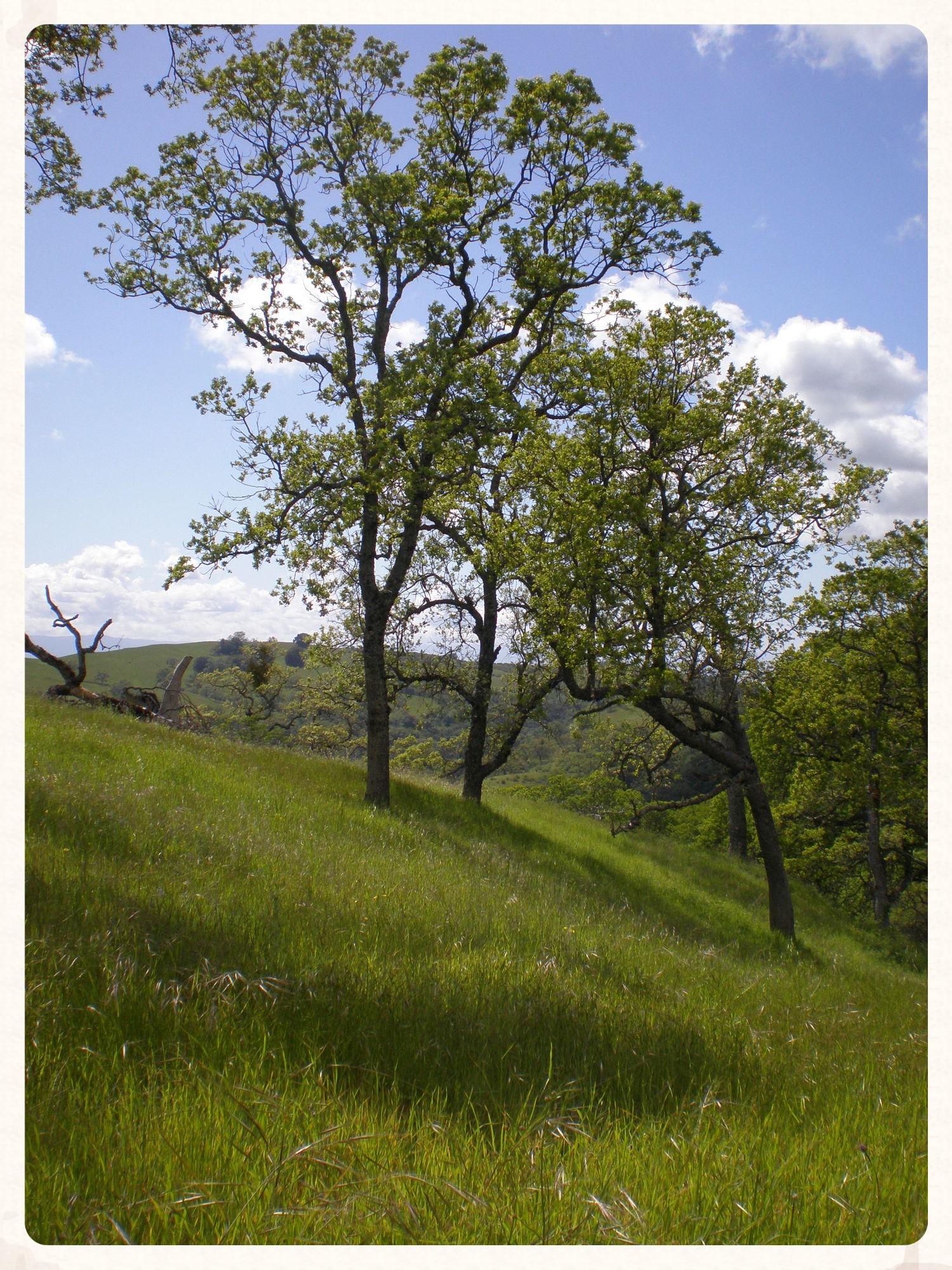 blue-oaks.jpg