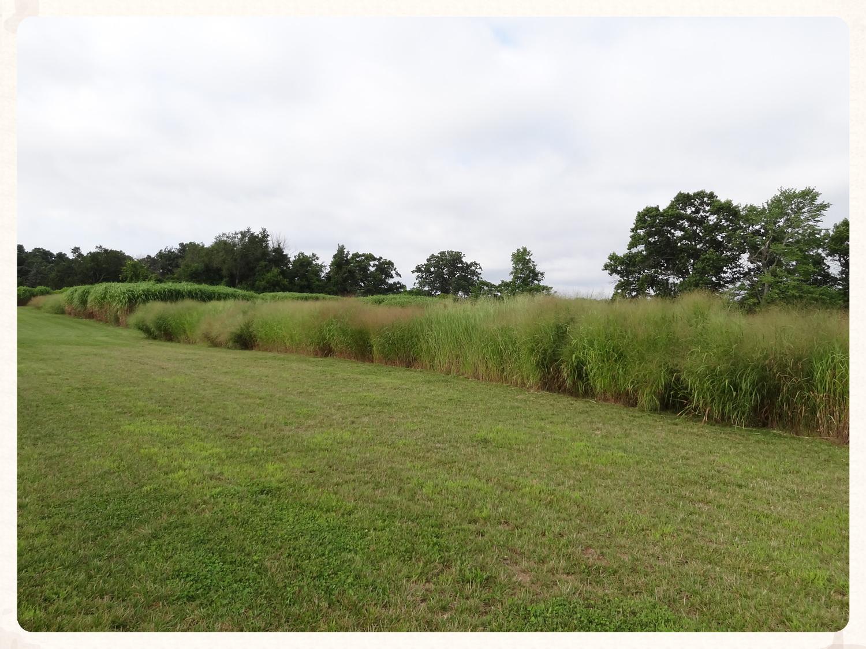 Switchgrassvariety trials@ Kellogg Biological Station