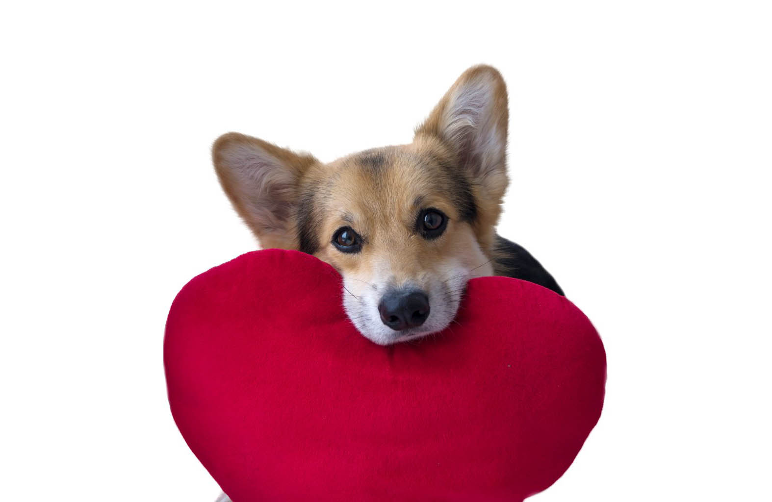lovely-loving-dog-with-a-red-heart-on-a-white-background-picture-id898894780.jpg