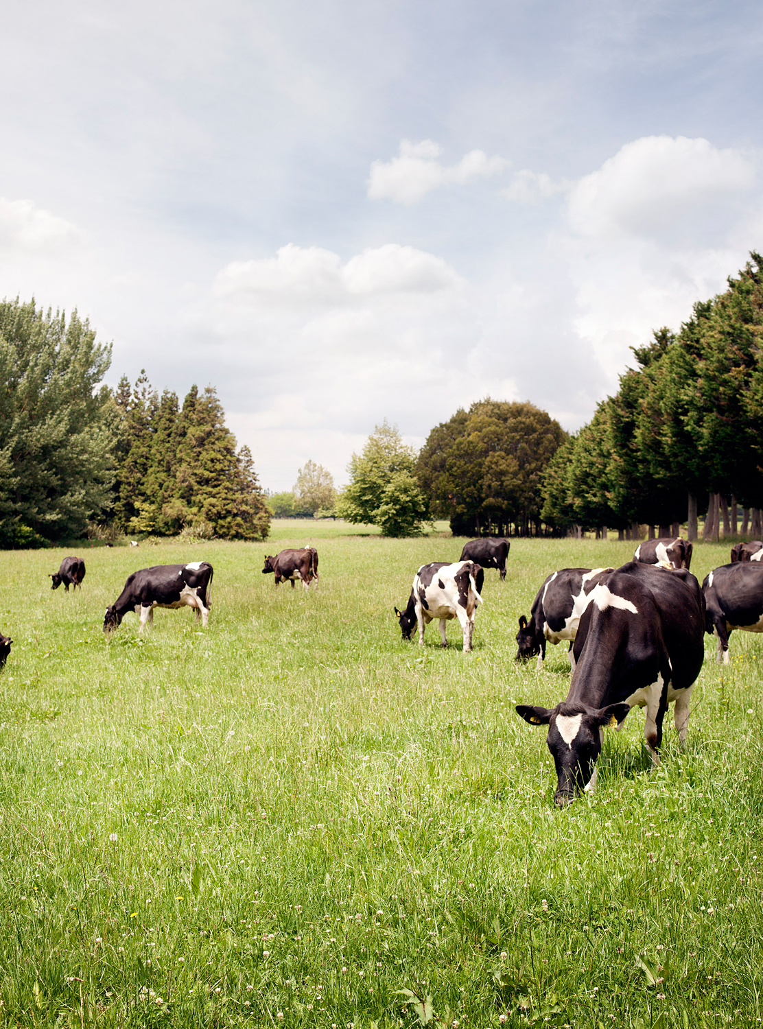 Nic-Staveley-Cow-Images_014.jpg