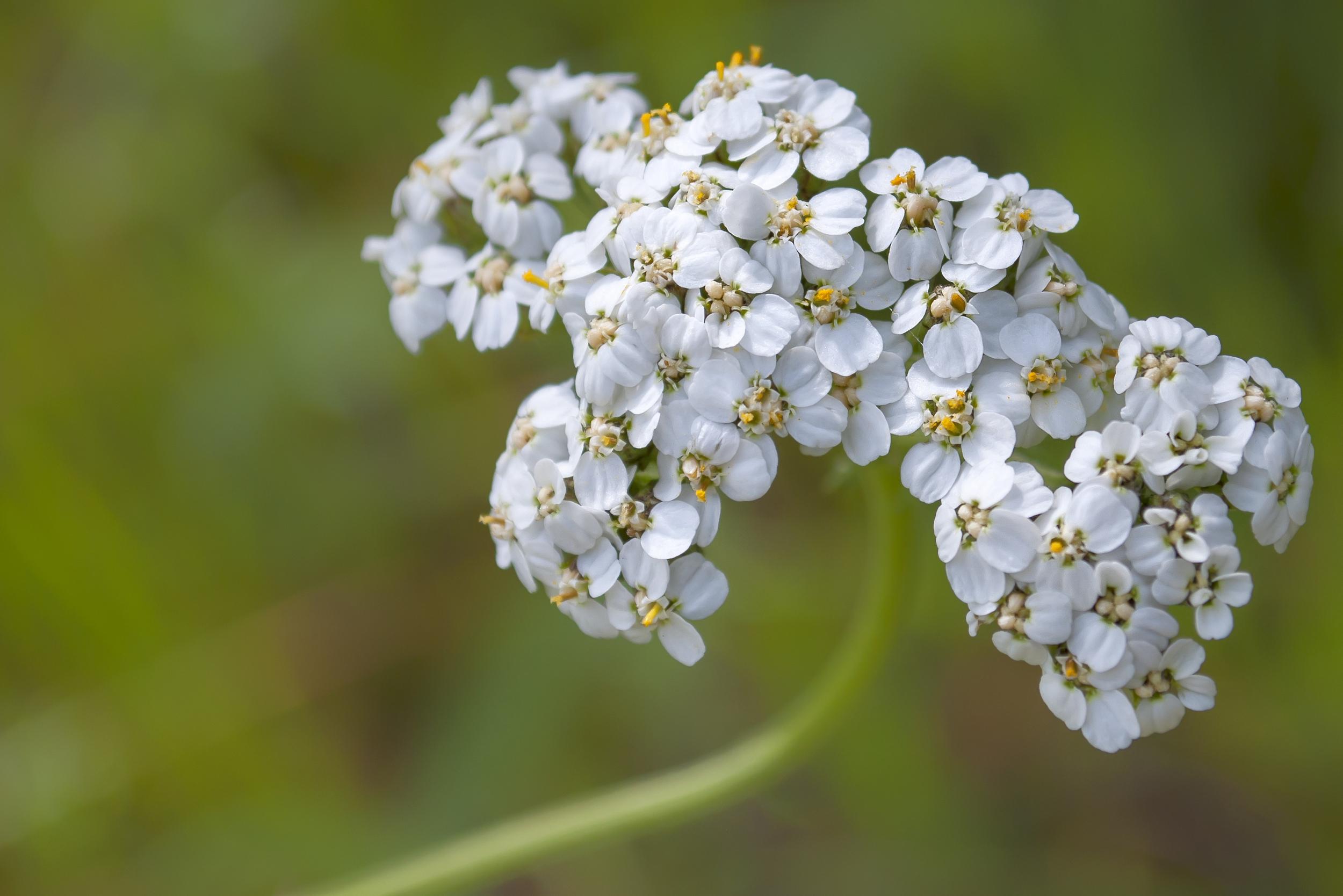 Achillea Millefolium (Common Yarrow)