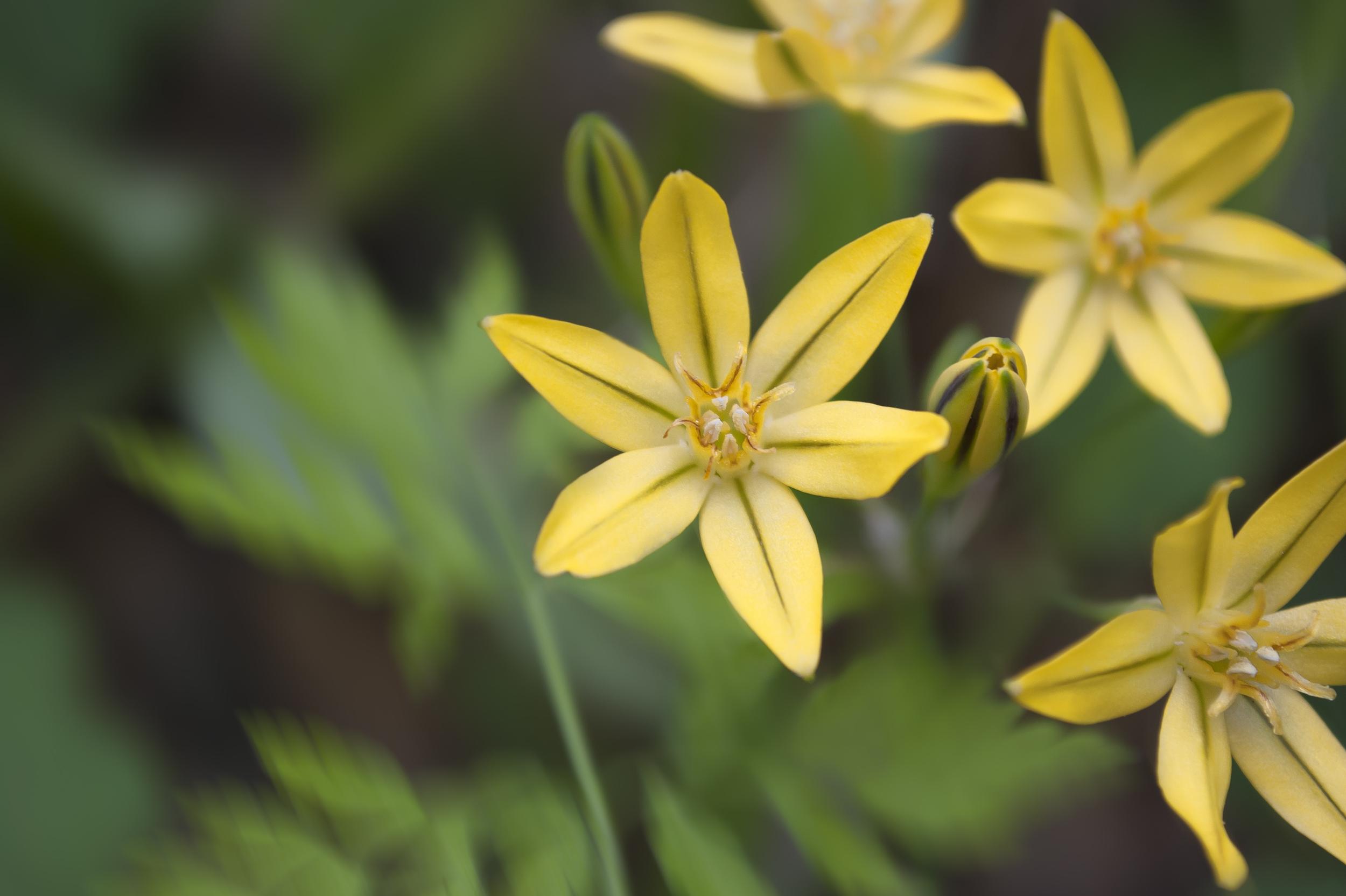 Triteleia Ixioides (Golden Brodiaea)