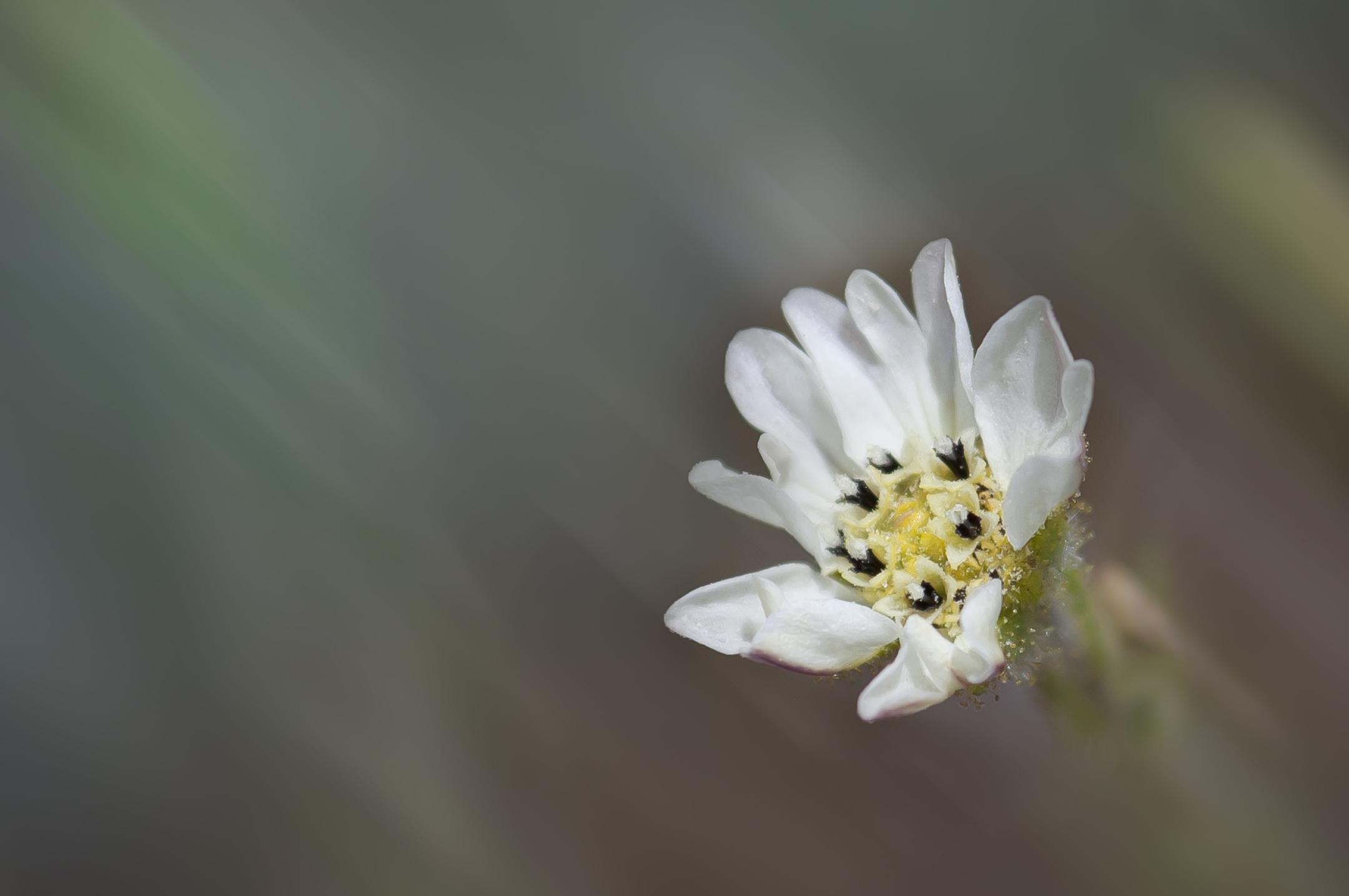 Hayfield tarweed (Hemizonia congesta)